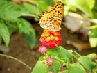 蝶々が蜜を吸う